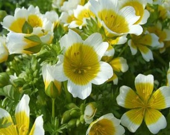Poached Egg Plant Seeds/Limnanthes Douglasii/Annual   50+