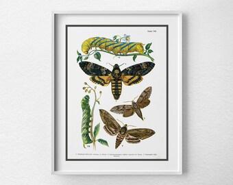 Moth Specimen Poster, Moth Poster, Scientific Insect Print, Moth Chart, Moth Art Print, Insect Art, Science Nature Art, 0151