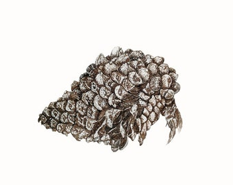 small unusual pinecone ink drawing as Digital image for personal use or work correspondence