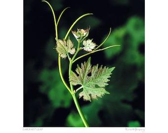 Cabernet Sauvignon leaf detail
