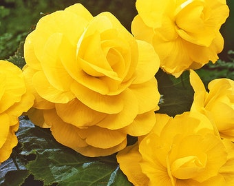 Begonia Rose Form Double Yellow -  Trio (3) of XL Bulbs