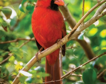 Bright Red Cardinal on Branch