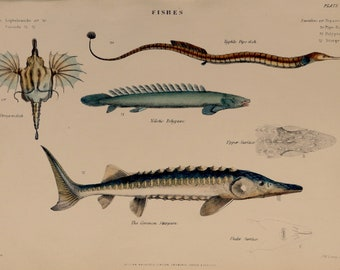 """1862.Antique print.Engraving hand colored.155 year old print.Museum of Natural History.FISH.Dragonfish.Pipe fish,Sturgeon..10.6x7"""",18x27 cm."""
