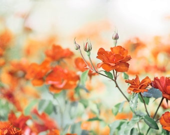 "Orange Flower Photography - rose burnt orange wall art green white floral photo nature print botanical nursery decor, ""Immeasurable Dreams"""