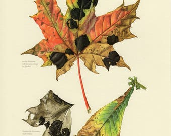 Vintage lithograph of plant pathogens, tar spot and brown leaf mold from 1964