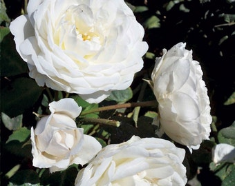 Cloud 10 ™ Climbing Rose Bush Large White Flowers Own Root Potted  - Own Root Non-GMO SPRING SHIPPING