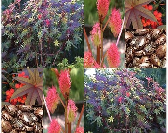 Castor Bean (Ricinus communis) SEEDS - Tropical Mix - Mole Repellent - Spectacular Mix Of Colors , Choose from 10 or 130