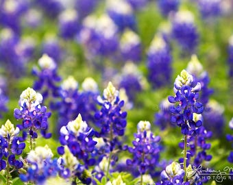 "Texas Art Photo | ""Bluebonnet Bokeh"" 