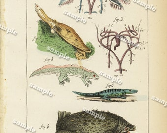 Original Antique Natural History Hand Colored Toad Engraving -lizards - Reptiles