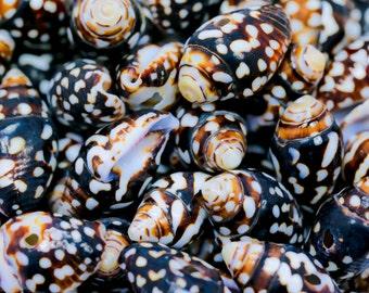 speckled nassa shells loose