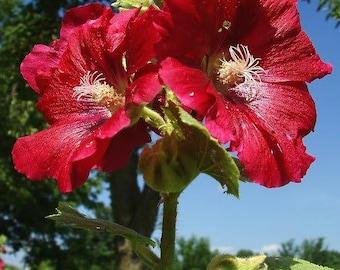 25 DARK RED HOLLYHOCK Alcea Rosea Flower Seeds Perennial *Combined S/H