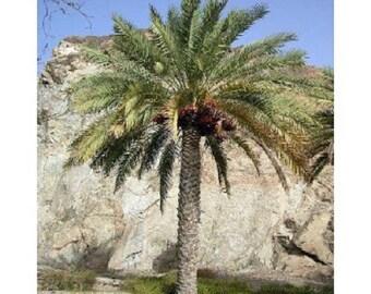10 Date Palm Tree Seeds, Phoenix dactylifera