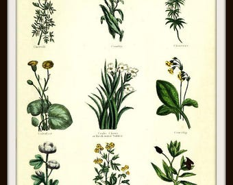"""Herbal Botanical Print #6 from """"The Complete Herbal"""" book 1850"""