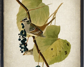 Vintage Art Bird and Botanical Print, White-crowned Sparrow Illustration, Instant Download Printable