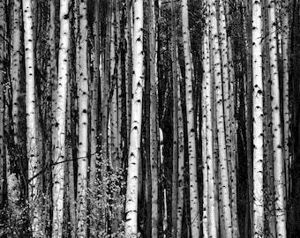 Aspens, Trees, Colorado, black and white, monochrome, fall, autumn, lines, aspen trees, tree bark, aspen tree, aspen tree art, aspen art