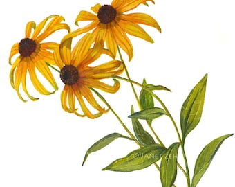 Botanical Print Black Eyed Susan Flowers Rudbeckia Watercolor Illustration by Janet Zeh Original Art