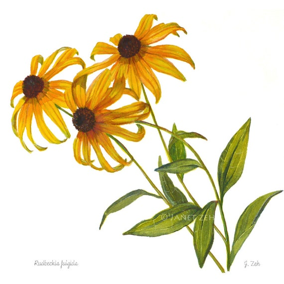 Botanical Print Black Eyed Susan