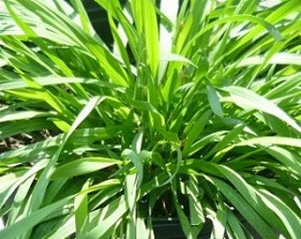 Vanilla Grass live herb plant. Also called sweet vernal grass or dog grass. Vanilla scent used in potpourri and sachets.