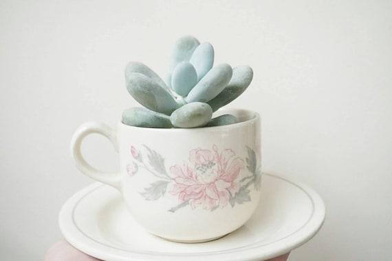 Succulent Pot Succulent Teacup Plant Pot Cream Pink Ceramic