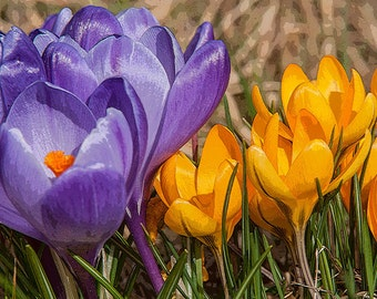 Spring Bloom Image, Flower Photography, Crocus Photos, First of Spring