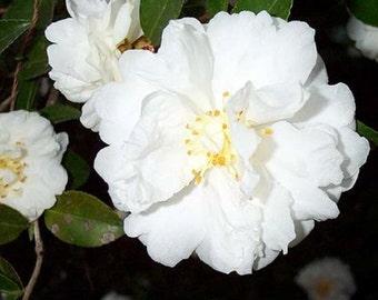 Mine No Yuki White Doves Camellia Sasanqua  - Live Plant - Trade Gallon Pot