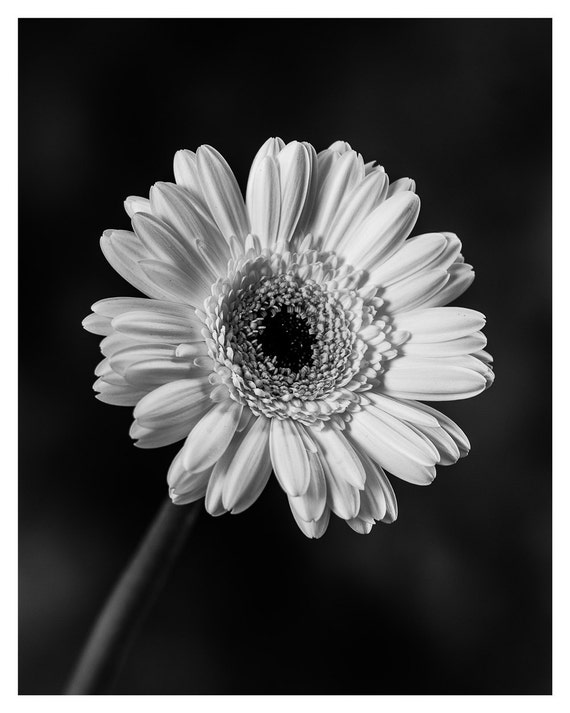 Flower Photography, Black and White, Fine Art Print, Chrysanthemum, Flower photography, Floral Wall Decor, 5x7, 8x10