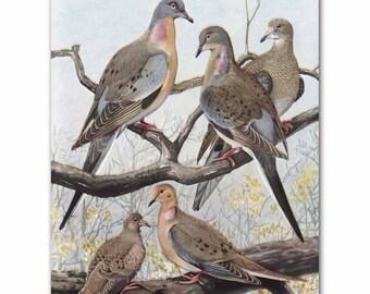"Pigeon Art, Bird Print (Vintage Dove Wall Art, Antique Bird Decor) --- ""Passenger Pigeons & Mourning Doves"" No. 36"