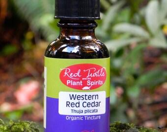 Western Red Cedar Tincture, Organic (Thuja plicata)