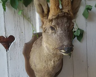 Deer taxidermy / Vintage roe deer taxidermy/Roe buck taxidermy/Roe deer trophy hunting/trophy /.