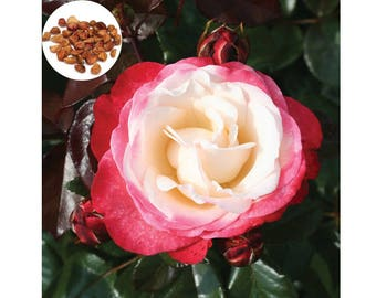 20 Rare Red White Nostalgia Rose Fresh Seeds, Exotic Red White Rose Flower Home Garden Plant, Growing Rose from Seeds