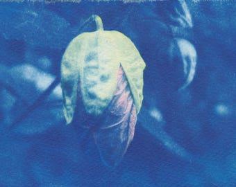 Flowering Maple Cyanotype Sunprint - Hand-tinted Flower Bud