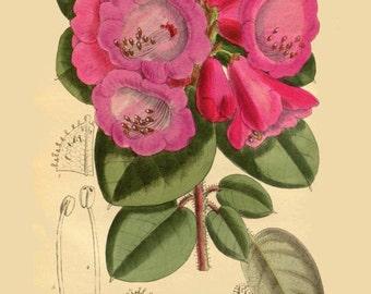 antique victorian botanical print pink rhododendron flowers illustration digital download