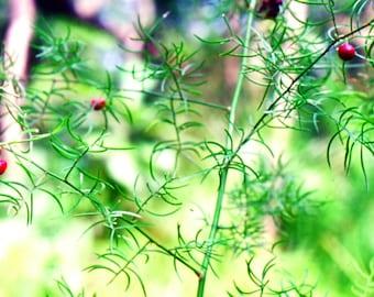 100  Seeds Asparagus racemosus ,Satavar, Shatamull Seeds