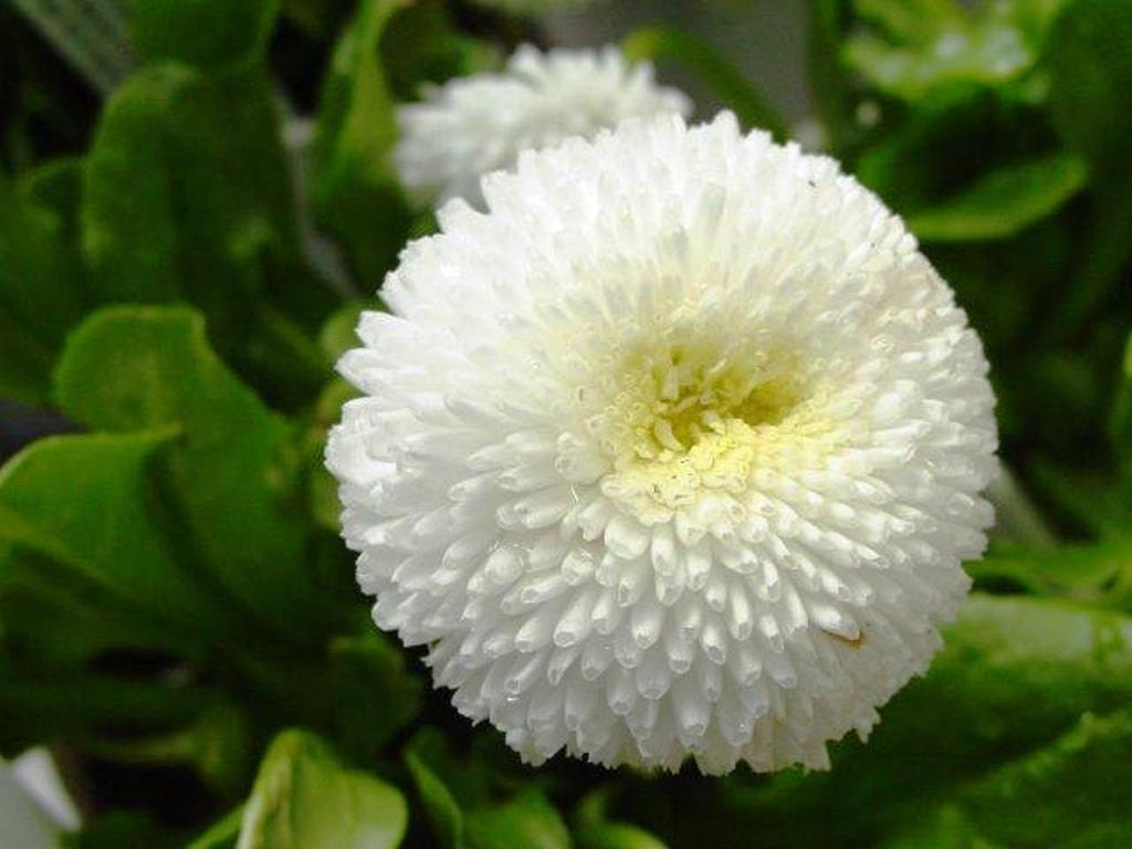 English daisy bellis seeds white super enorma double white zoom izmirmasajfo Image collections