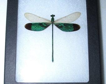 Real framed dragonfly damselfly green Neurobasis chinensis