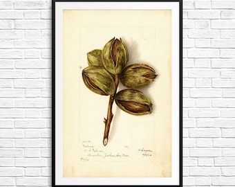 Watercolor prints, hickory, hickory nut, hickory tree, hickory wood, hickory prints, pomological database, watercolor vintage, kitchen print