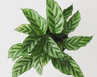 "Calathea concinna Freddie Plant 6"""