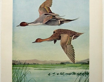 Pintail Ducks - Antique Print by Louis Agassiz Fuertes - From the 1910 Edition of the Birds of New York