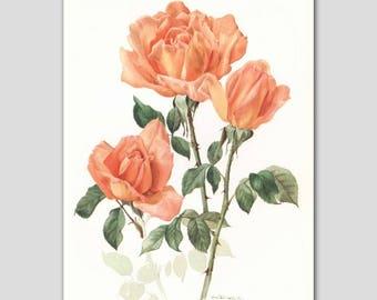 "Botanical Art Print,  Rose Illustration (Orange Home Office Wall Decor, 1960s Flower Book Plate) --- ""Beute"" No. 30"