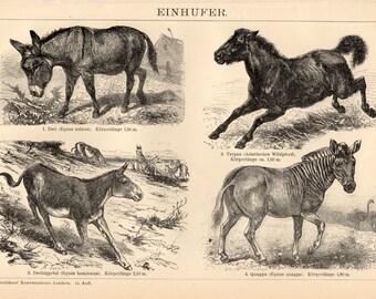 1908 Equus Antique Print, Equidae, Horse Illustration, Donkey, Zebra, Equine, Tarpan, Wild Horse, Asinus, Indian Wild Ass, Khur, Quagga