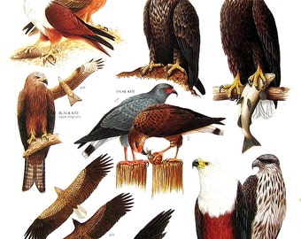 Vintage Bird Print - Brahminy Kite, Bald Eagle, Black Kite, Bat Hawk, African Fish Eagle, Sea Eagle - 1990 Vintage Book Page - 11 x 9