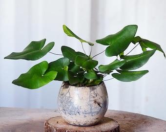 "Heart Fern Plant (Hemionitis arifolia) Live Plant Ships in 100% Biodegradable 4"" Coconut Fiber Planter"
