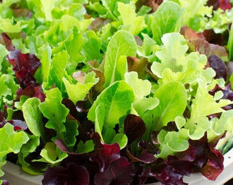 500 Seeds Gourmet Lettuce Mix, Heirloom Seeds, Non GMO, Easy to Grow