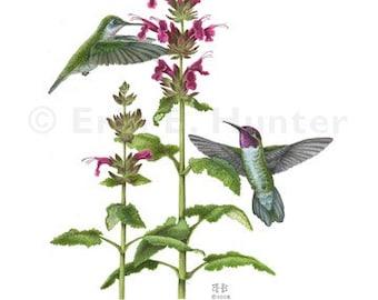 Anna's Hummingbird and Hummingbird Sage