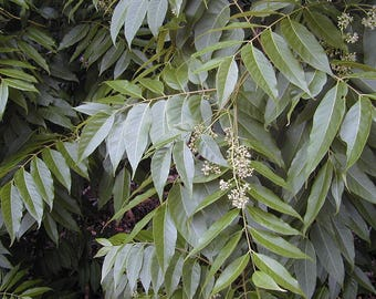 200 Toona ciliata Seeds, Indian mahogany, Red cedar,