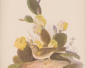 Vintage 1950's Audubon Print, Vesper Sparrow, Commentary by Roger Tory Peterson, Ornithology, Rustic Decor, Shabby Chic, Ephemera
