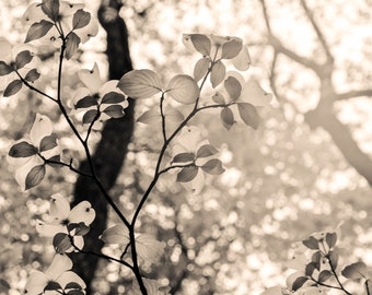 Christina's dogwood, 8x10 fine art black & white photograph, nature, flower