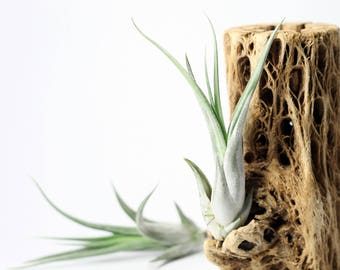 Tillandsia Paucifolia Air Plant // Hello Tilly Airplant