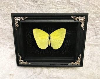 Buttercup Butterfly
