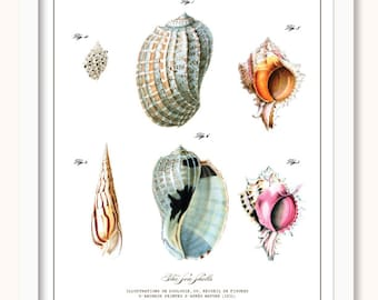 Vintage Shell - Shell Illustration - Natural History - Seashells - Shells- Antique Illustration - Natural History - Sealife - Beach
